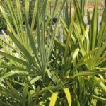 Needle Palm Tree