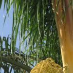 Queen Palm Crown