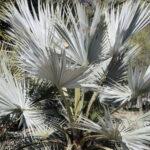 Brahea Armata Palm