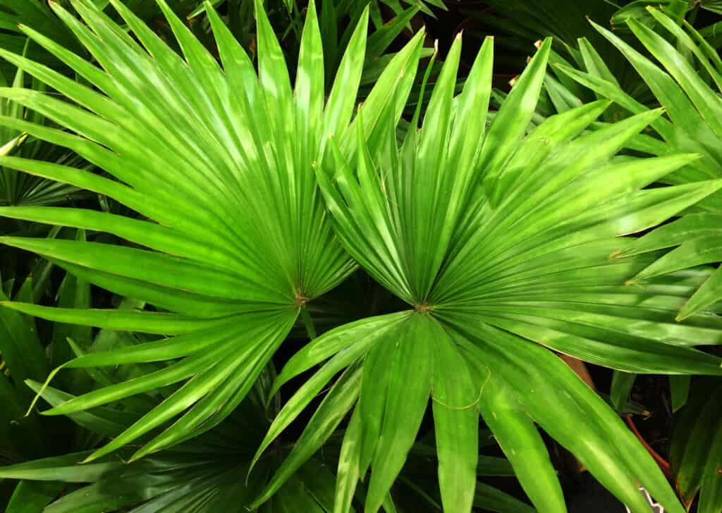 Livistona Chinensis Palm