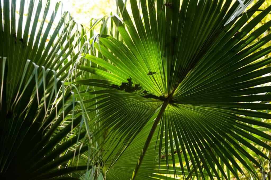 Livistona Chinensis Palm Fronds