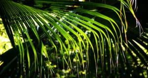 Livistona Chinensis Palm Frond