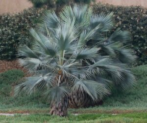 Brahea Armata Palms